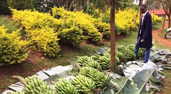Bananas are collected from rural farmers before being transported to Nairobi, where they'll be ripened in cooling units before being sold across the city. Photo courtesy of Peyton Fleming