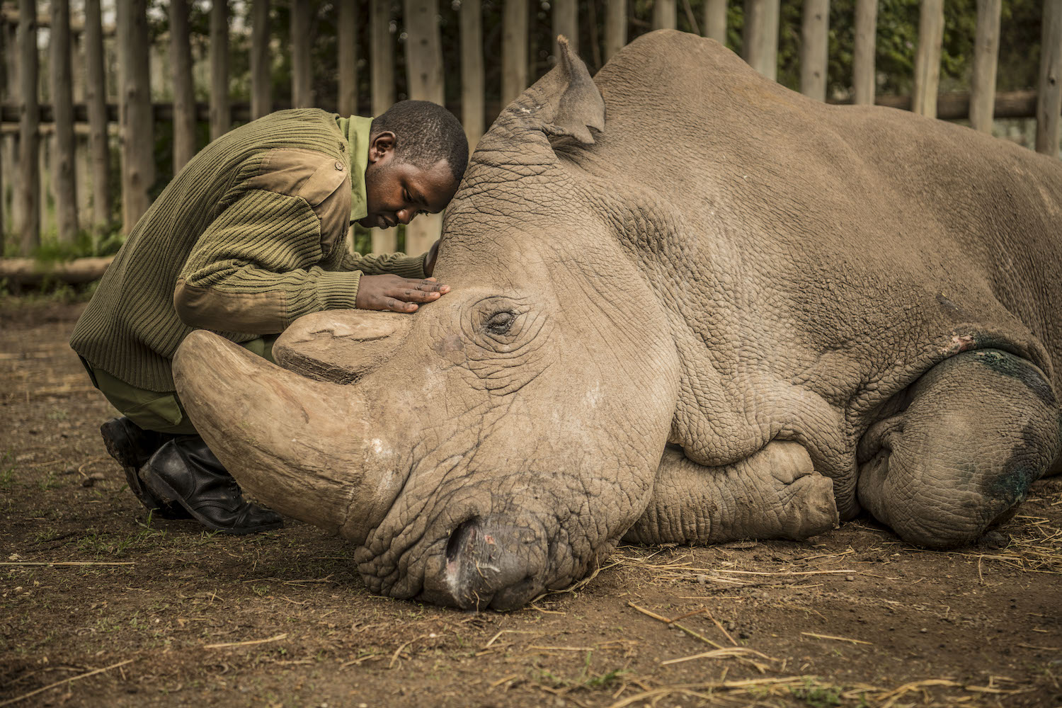 The last living male white rhino left is comforted moments before he passed away. © Ami Vitale
