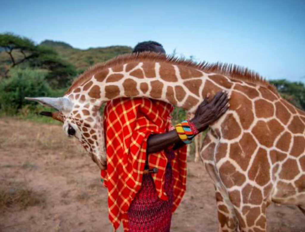 An orphaned baby reticulated giraffe embraces wildlife keeper Lekupania. © Ami Vitale
